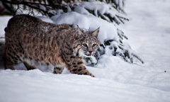 Bobcat Basic Facts and HD Wallpapers by eBuzzap