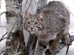 Adorable Bobcat Wallpapers