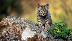 Bobcat Animal Profile