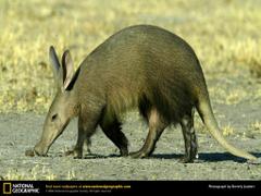 aardvark Wallpapers