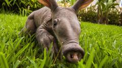 Aardvark HD Wallpapers