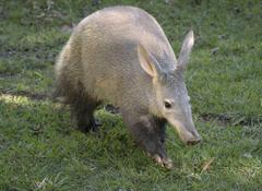 Aardvark Wallpapers High Quality
