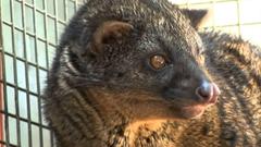 African civet and Evolution