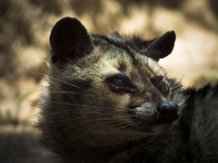 File Himalay Palm Civet jpg