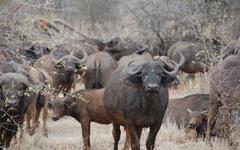 African Buffalo Wallpapers 7