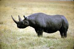 Wildlife photography of black rhinoceros standing on grass