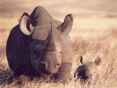 Javan Rhinoceros Hd Wallpapers