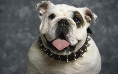 Bulldog Wallpapers and Backgrounds Image