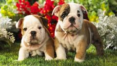 French Bulldog Wallpapers HD
