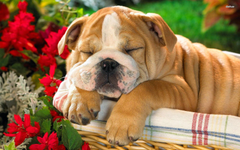 English Bulldog Wallpapers Image Group