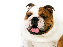English Bulldog Wallpapers