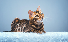 Bengal Cat HD Wallpapers Wallpapers Themes