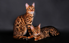 Bengal Cat HD Wallpapers