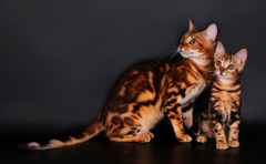 Bengal cats on a gray backgrounds wallpapers and image