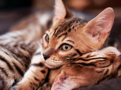 Little Bengal cats wallpapers and image