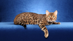 Bengal cat Wallpapers HD