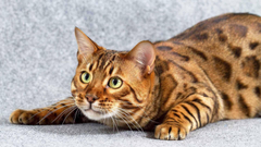 Bengal Cat Wallpapers