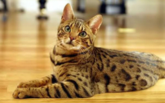 Cute Bengal Cat widescreen wallpapers
