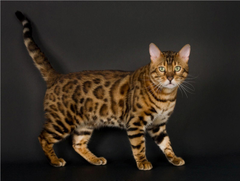 Gorgeous Bengal Cat Wallpapers Wallpapers Cave Along With Bengal