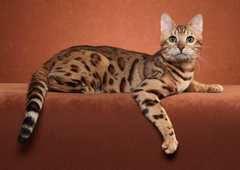 Bengal cat posing on a brown backgrounds wallpapers and image