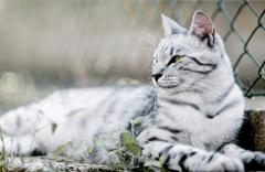 White Bengal Tiger Photos Wallpapers