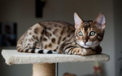 Beautiful Bengal cat saw someone wallpapers and image