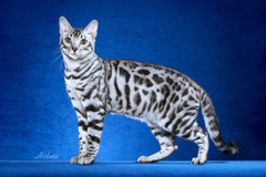 Bengal Cats Everywhere Need Your Help