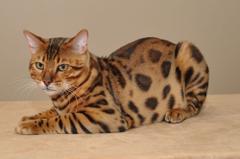 Beautiful Bengal cat poses wallpapers and image
