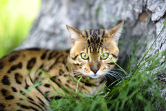Bengal cat near a tree wallpapers and image