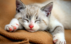 Bengal Kitten Sleeping Wallpapers Wallpapers Themes