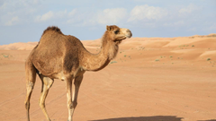 Camel Wallpapers Image Photos Pictures Pics