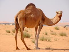 Camel Wallpapers 13
