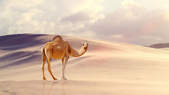 Camel Wallpapers HD Backgrounds Image Pics Photos