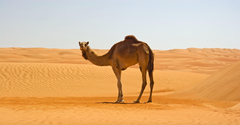Camel in Namib Desert 4K Wallpapers
