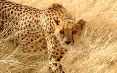 Cheetah Wallpapers