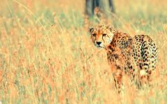 Beautiful Cheetah Wallpapers