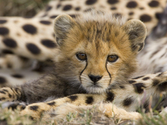 Face Cute Cheetah Wallpapers Wallpapers