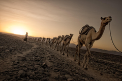 Photo of camels walking on dirt road HD wallpapers