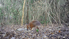 Lost species of fanged mouse deer spotted for first time