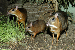 Chevrotains a k a mouse deer