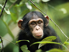 Chimp Pictures