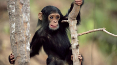Chimpanzee HD Wallpapers Image Pictures Photos