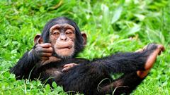 Chimpanzee HD Wallpapers