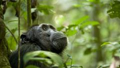Chimpanzee wallpapers HD for desktop backgrounds