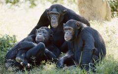 HD Chimpanzee Family Wallpapers