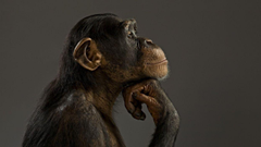 Monkey chimpanzee think wallpapers