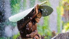 Wallpapers Chimpanzee Congo River tourism banana leaves rain