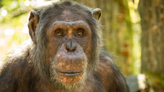 Chimpanzee 4K UltraHD Wallpapers