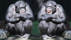 Wallpapers chimpanzee couple cute animals monkey funny Animals