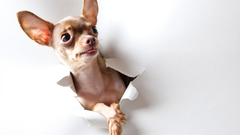 Teacup Chihuahua Wallpapers